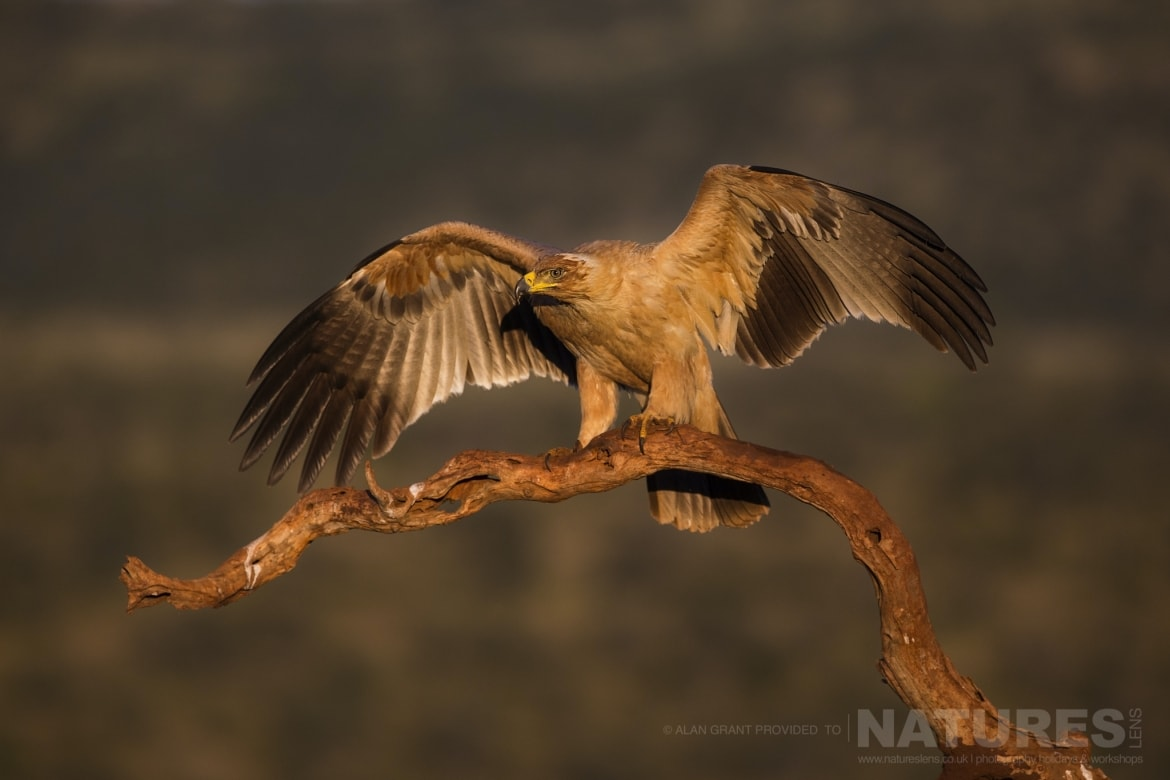 A Tawny Eagle stands with open wings on a tree branch as captured during the NaturesLens Zimanga photo tour