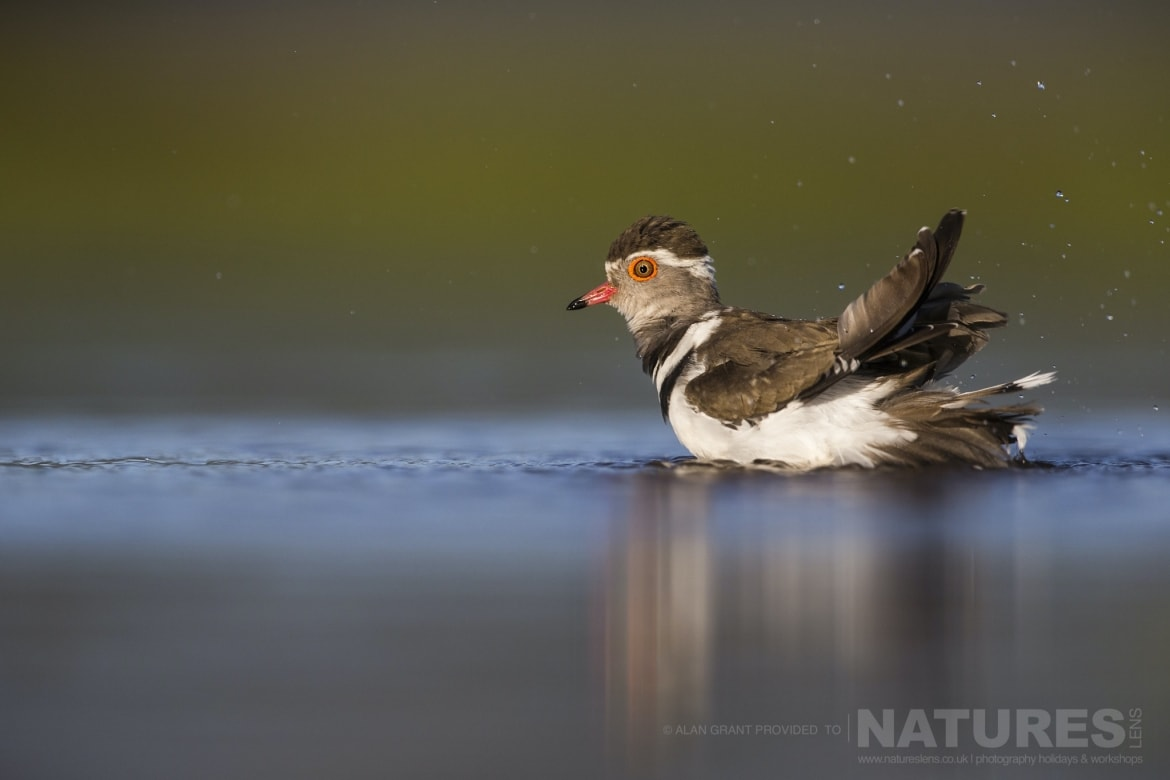 A Three banded Plover taking a bath during the Zimanga photography safari led by NaturesLens