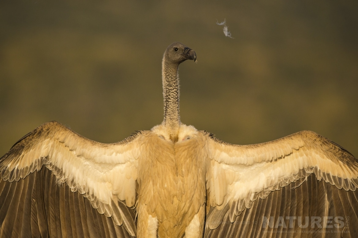 A Whitebacked Vulture opens its wings as captured during the Zimanga Photo tour led by NaturesLens