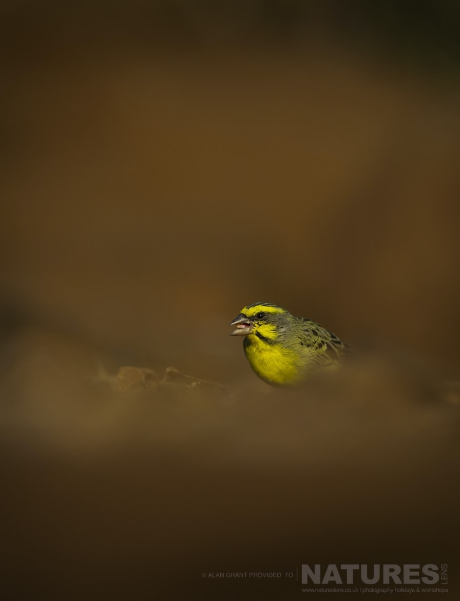 A Yellow Fronted Canary captured at Mkhombe Hide during the NaturesLens Zimanga photo safari