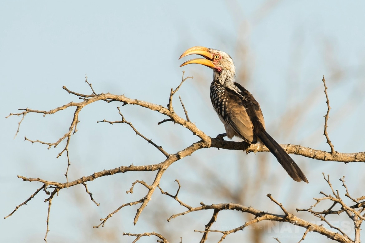 A Yellow billed Hornbill captured during one of the game drives on the Zimanga photo tour led by NaturesLens