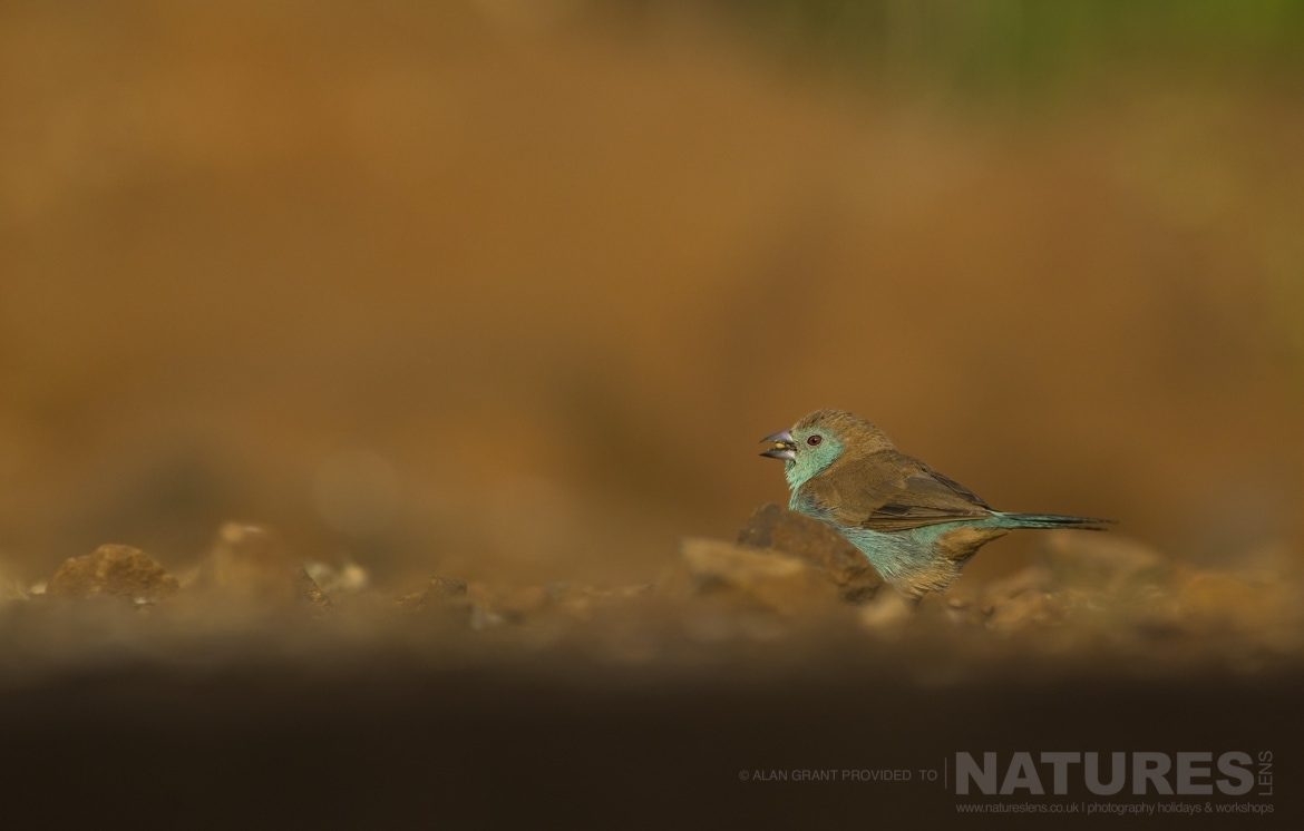 A blue Waxbill photographed at the Mkhombe Hide during the Natureslens Zimanga photo safari