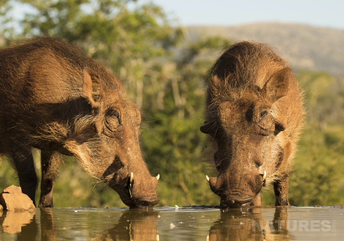 A close encounter with a pair of Warthogs captured during the NaturesLens Zimanga photography holiday
