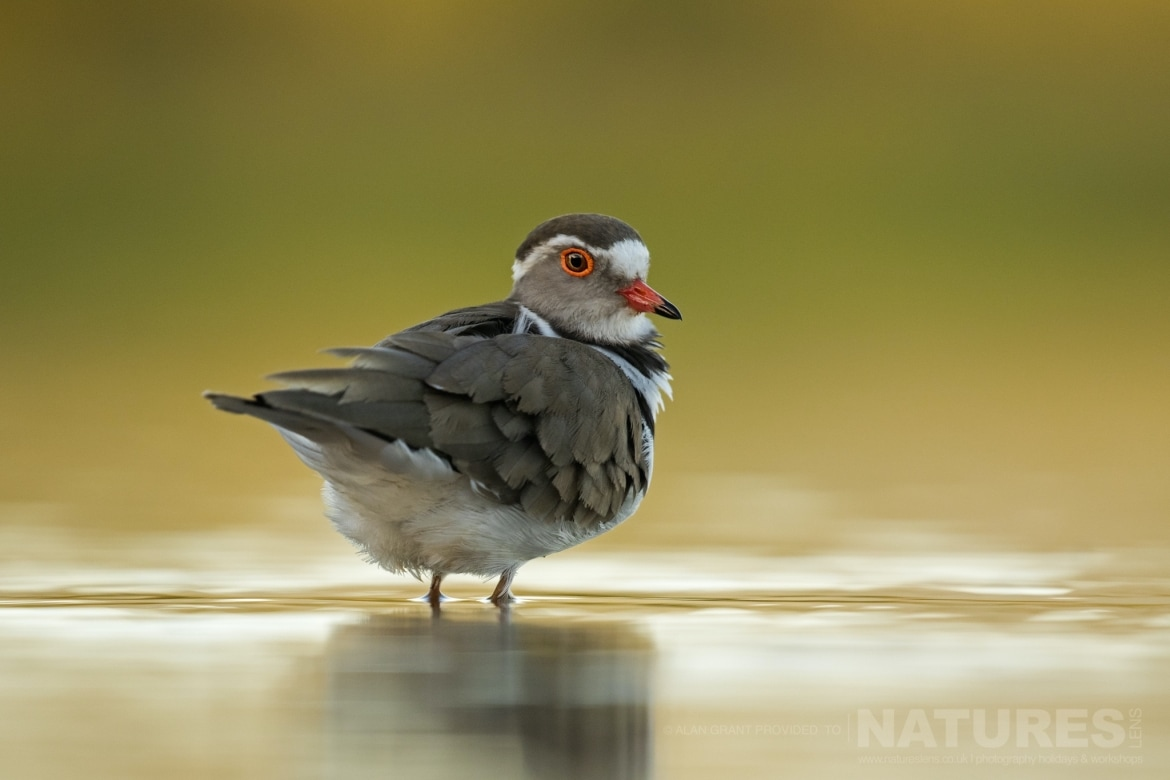 A colourful portrait of a Three banded Plover as captured during the NaturesLens Zimanga photography safari