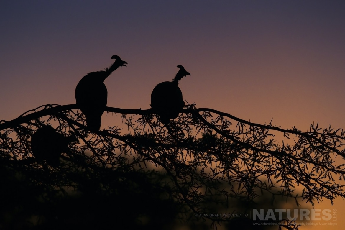 A colourful silhouette of two guinea fowl captured during the NaturesLens Zimanga photography safari