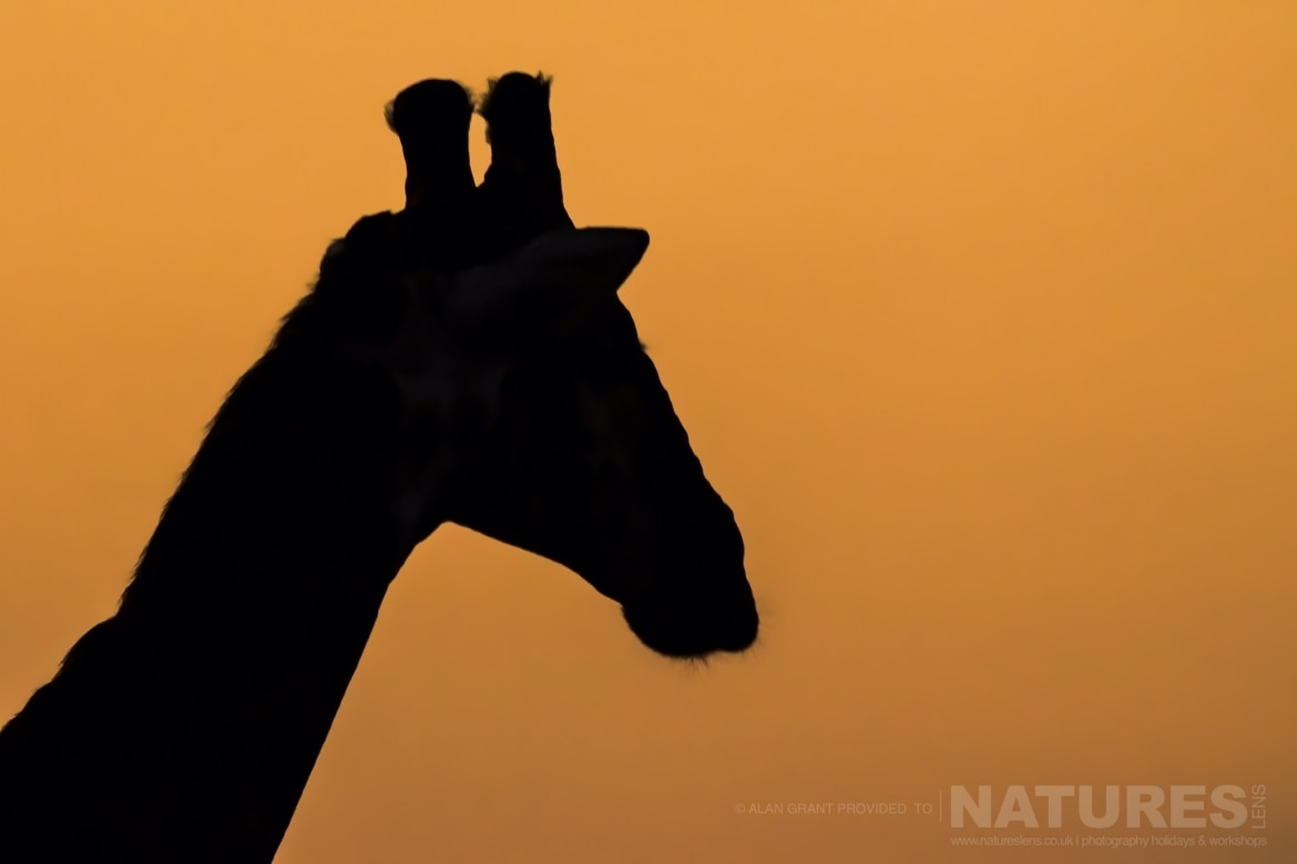 A giraffe silhouette at sunset taken during the Zimanga photography safari led by NaturesLens