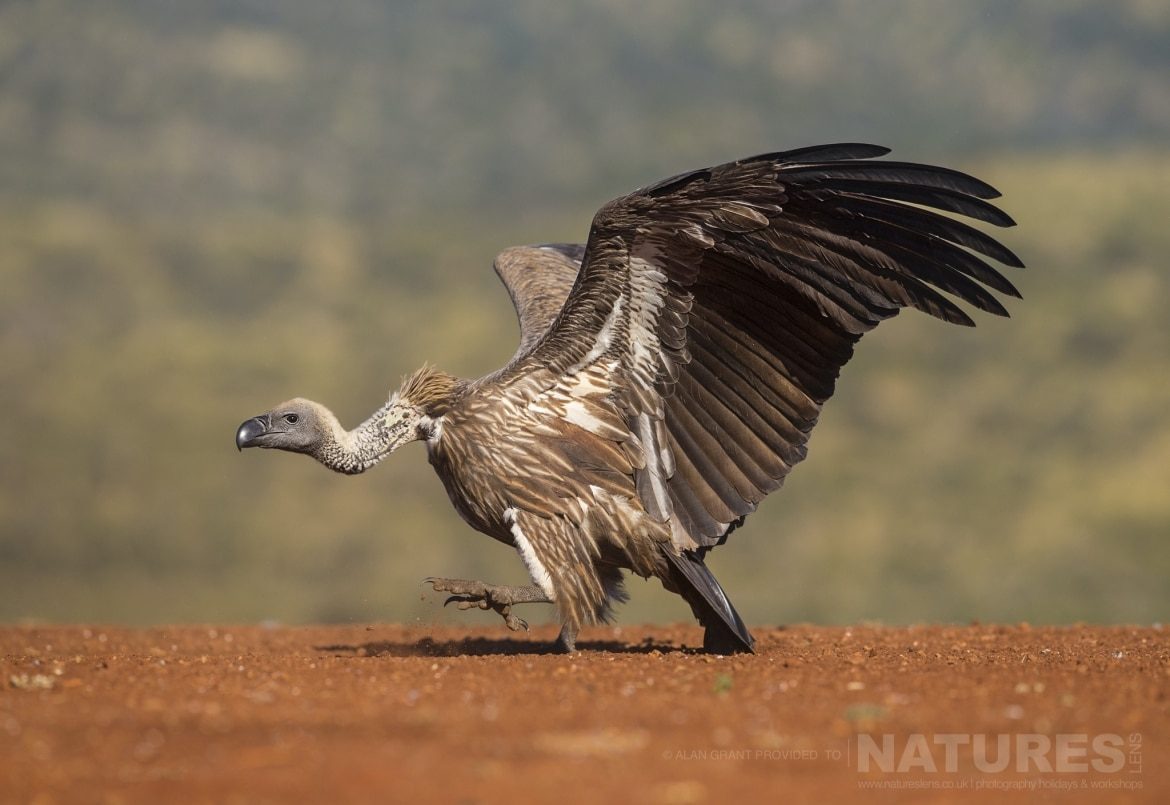 A goose stepping Vulture photographed during the NaturesLens Zimanga photo tour