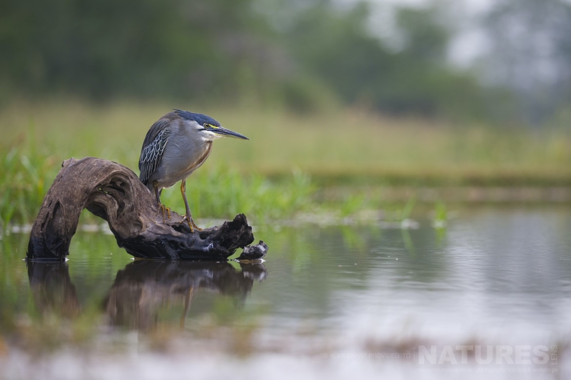 A green backed heron looking for fish in a lagoon as captured during the NaturesLens Zimanga photography safari