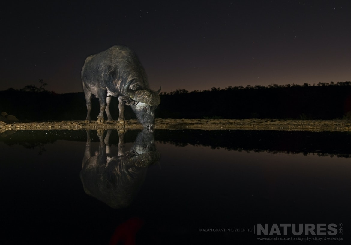 A lone Cape Buffalo drinks from a watering hole at night as photographed during the Zimanga photography holiday led by NaturesLens