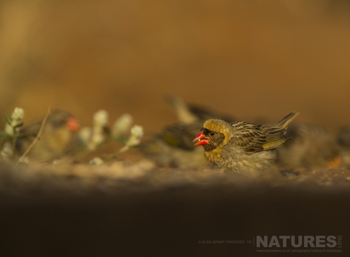 A male red billed quelea captured during the Zimanga photo safari led by NaturesLens
