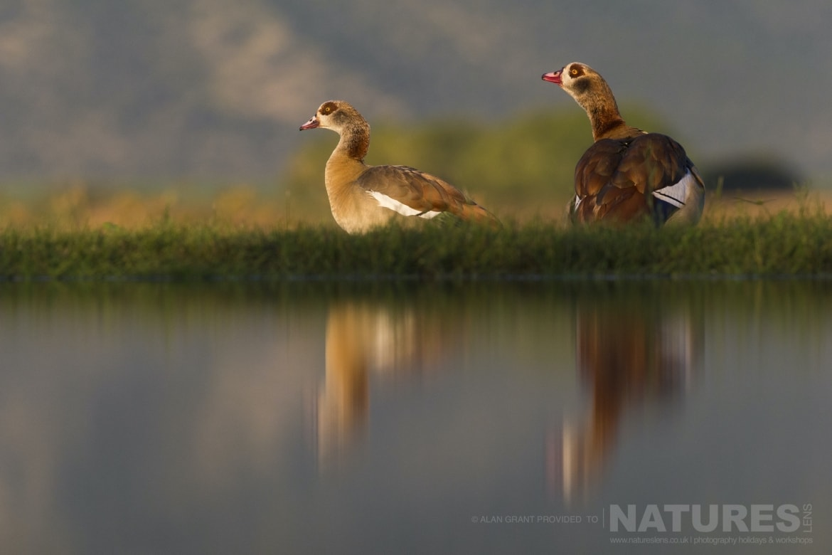 A pair of Egyptian Geese standing on the edge of the lagoon as captured during the NaturesLens Zimanga photography safari