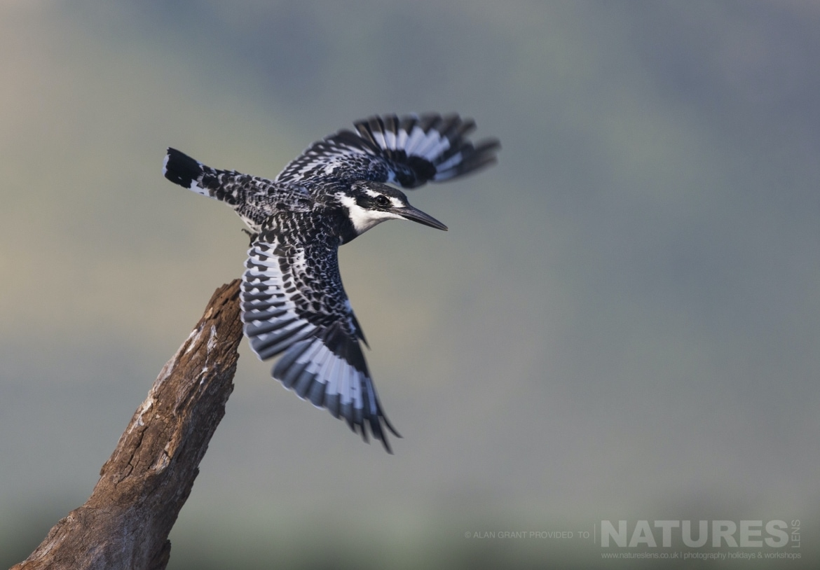 A pied kingfisher takes flight during the Zimanga photography safari led by NaturesLens