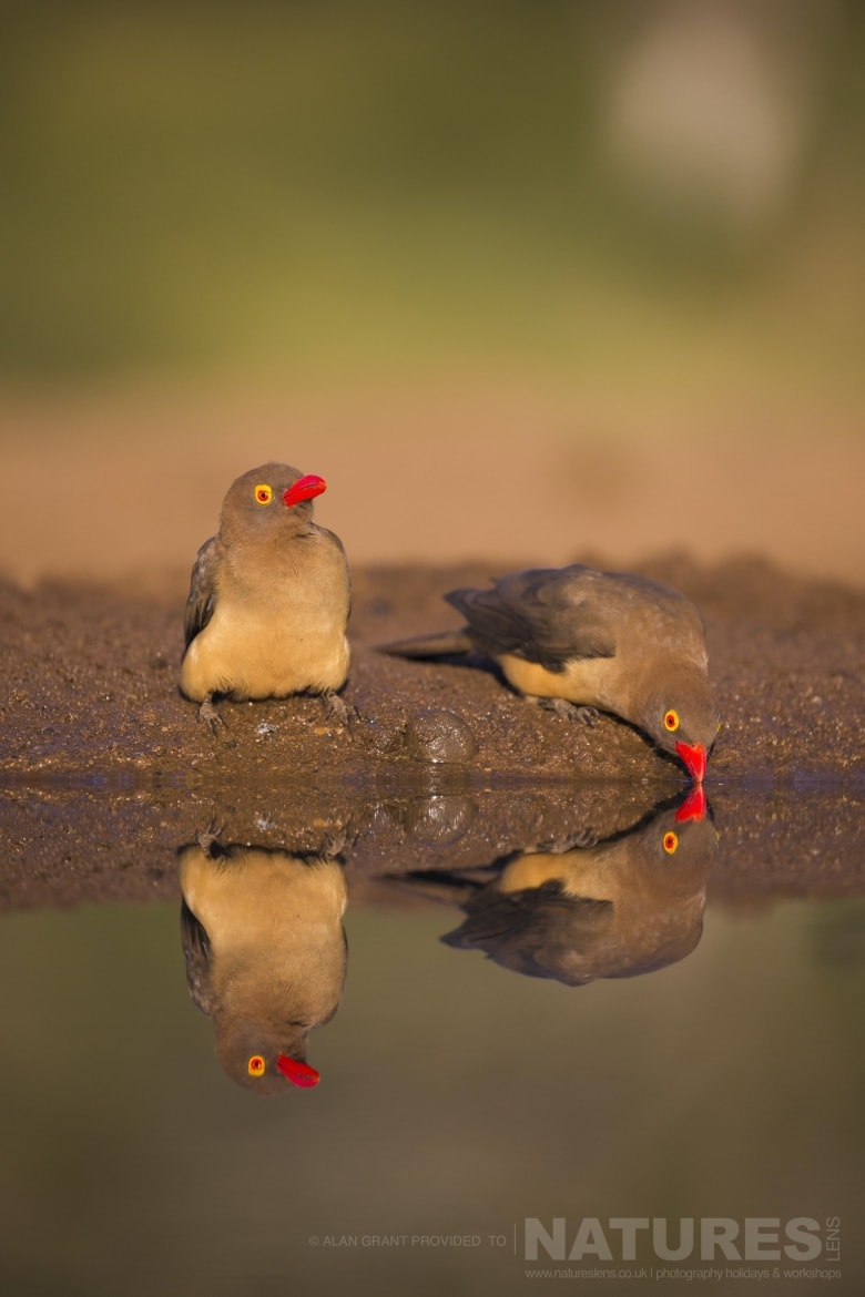 A reflection shot of two Red billed Oxpeckers as captured during the NaturesLens Zimanga photography holiday