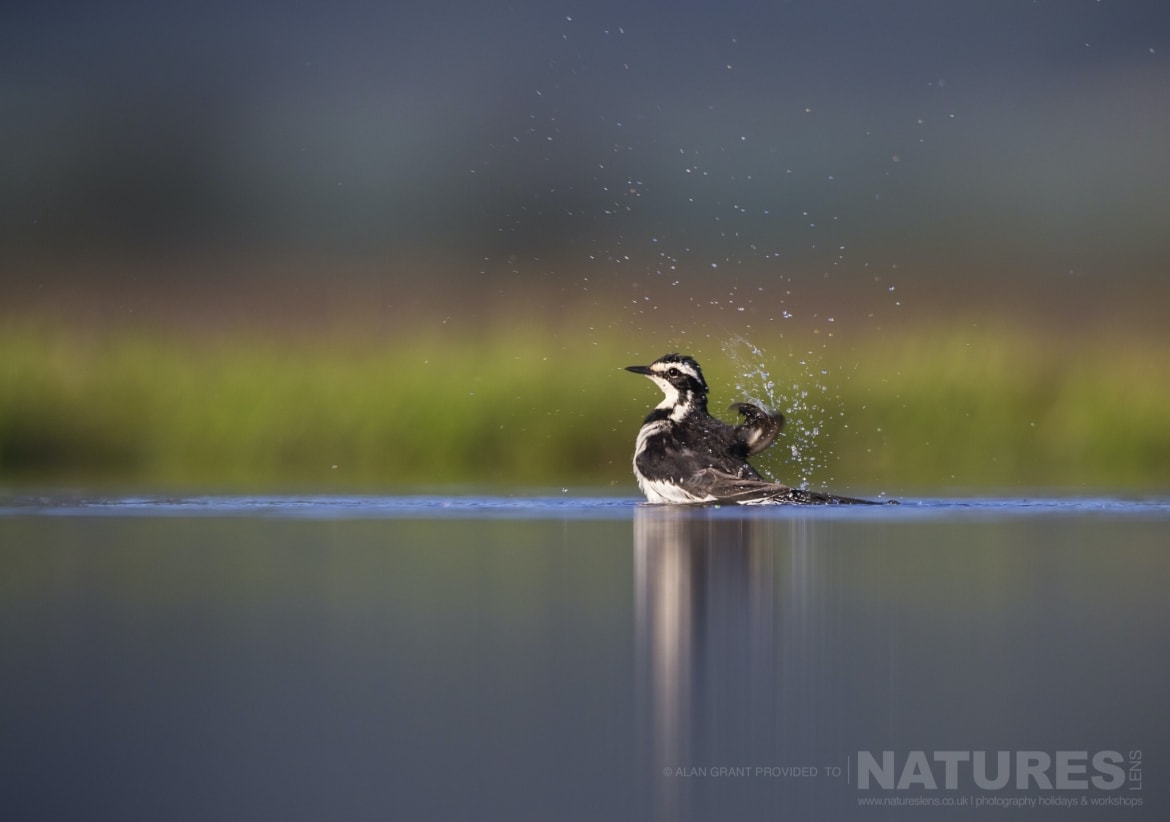 An African Pied Wagtail having a bath as captured during the Zimanga photography safari led by NaturesLens