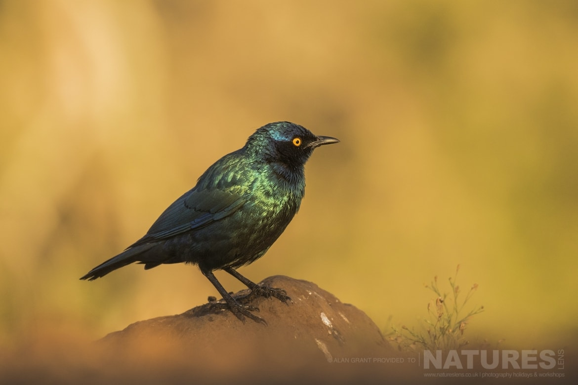 An iridiscent Cape Glossy Starling captured in the afternoon sun during the NaturesLens Zimanga photography holiday