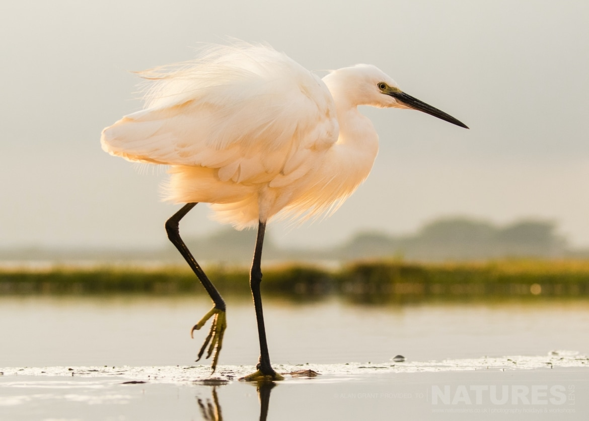 Little Egret kissed by the rosy glow of dawn photographed during the NaturesLens Zimanga photography safari