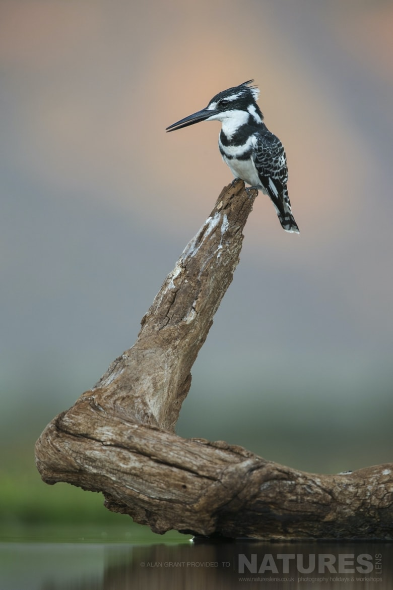 Pied kingfisher perched on a log as photographed during the NaturesLens Zimanga photography safari