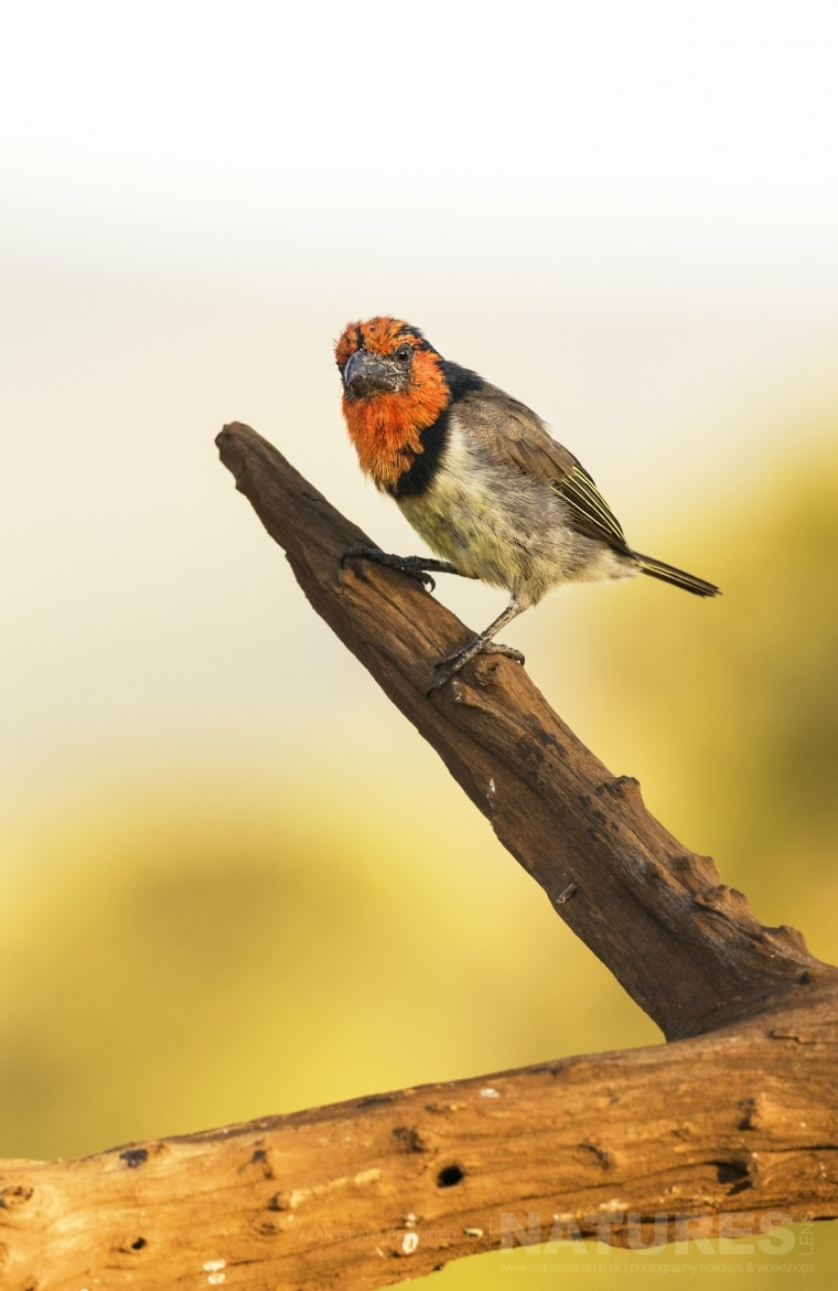 Portrait of a Black collared barbet photographed during the Zimanga photo safari led by NaturesLens