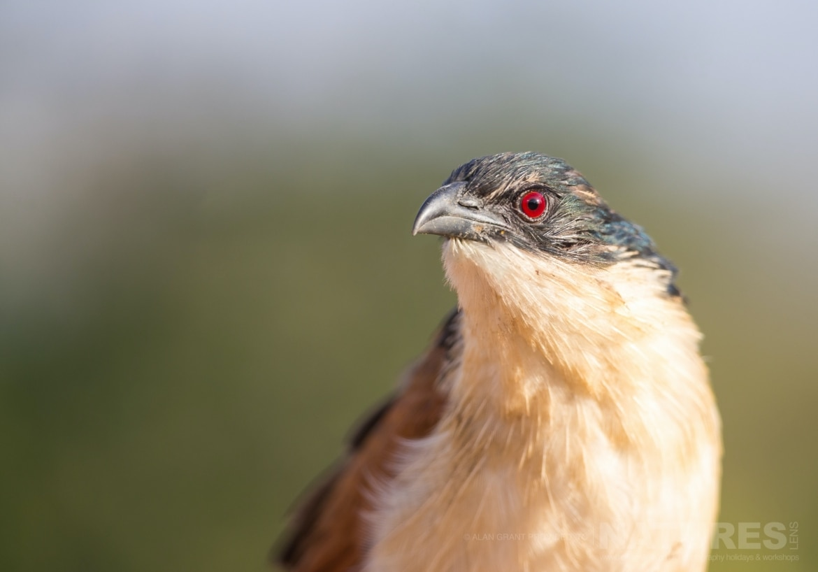 Portrait of a Coucal