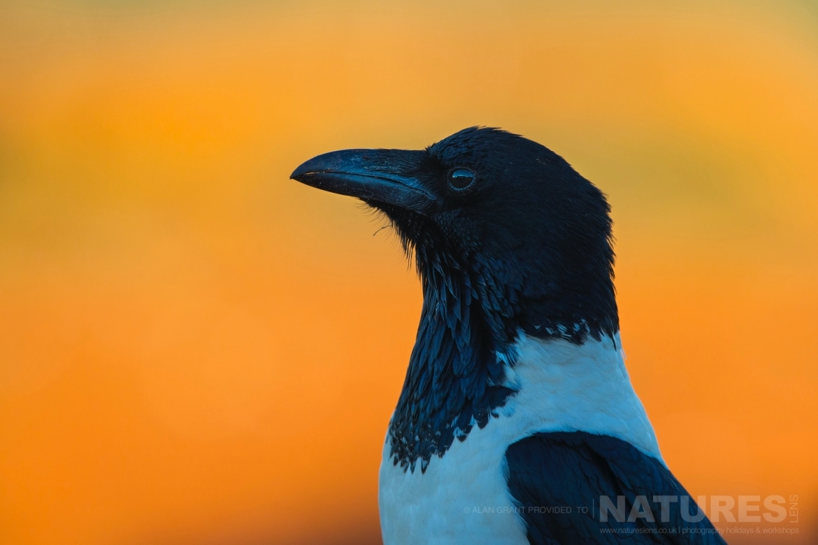 Portrait of a Pied Crow taken at dawn during the NaturesLens Zimanga photo tour