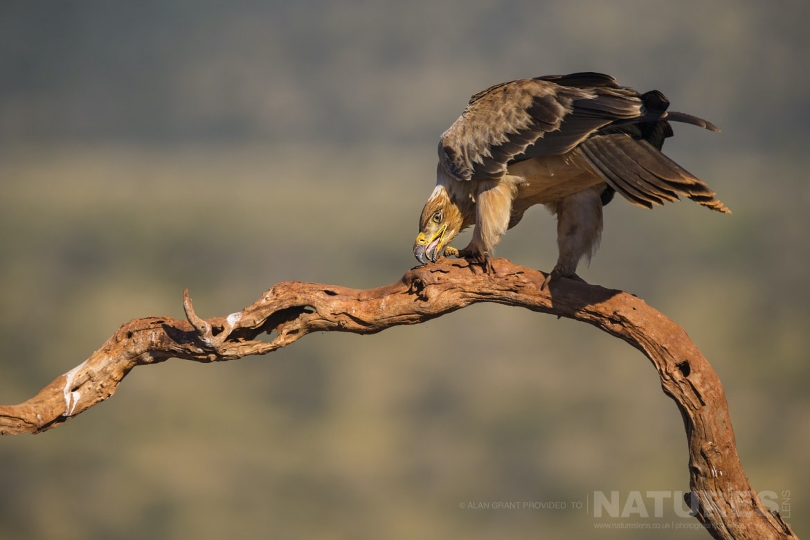 Tawny Eagle eating on a perch as captured during the Zimanga photo tour led by NaturesLens
