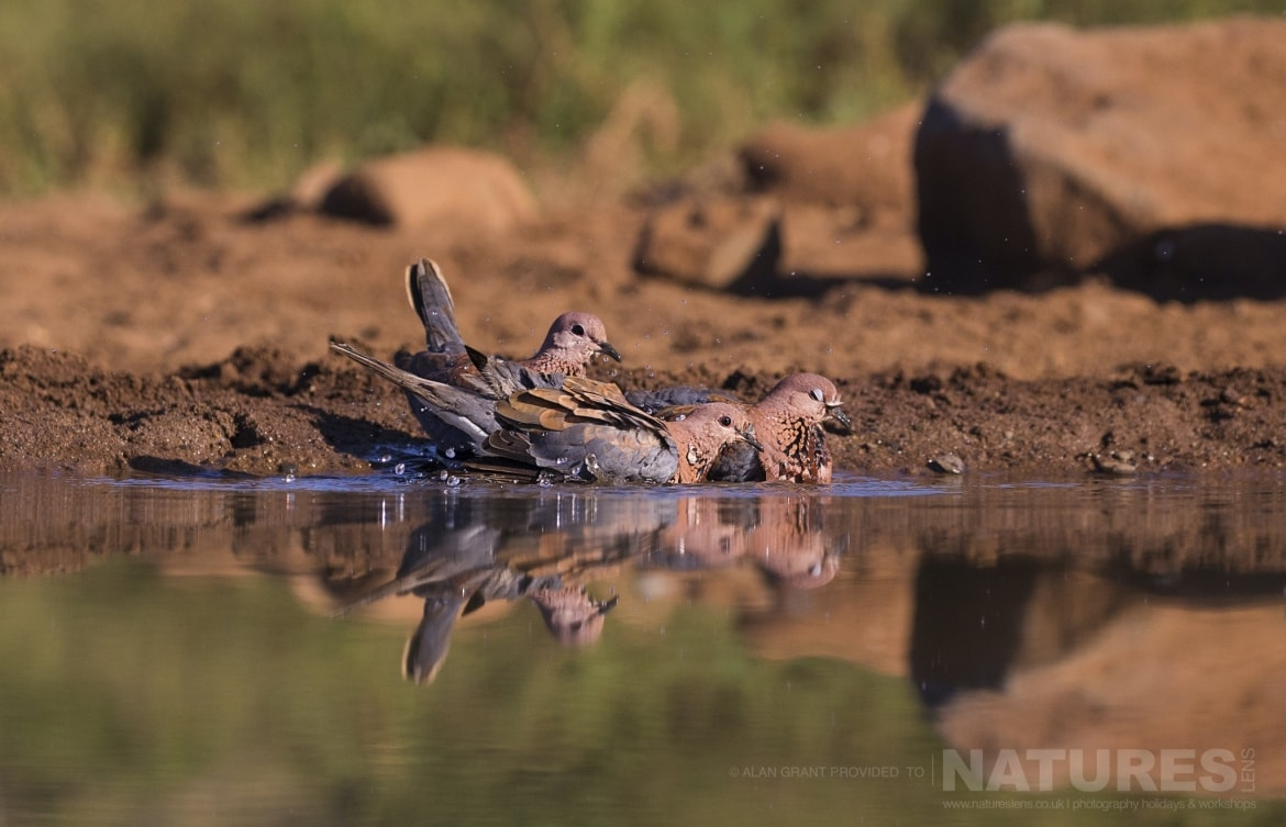 Three Cape Turtle Doves taking a bath as captured on the Zimanga photography holiday led by NaturesLens