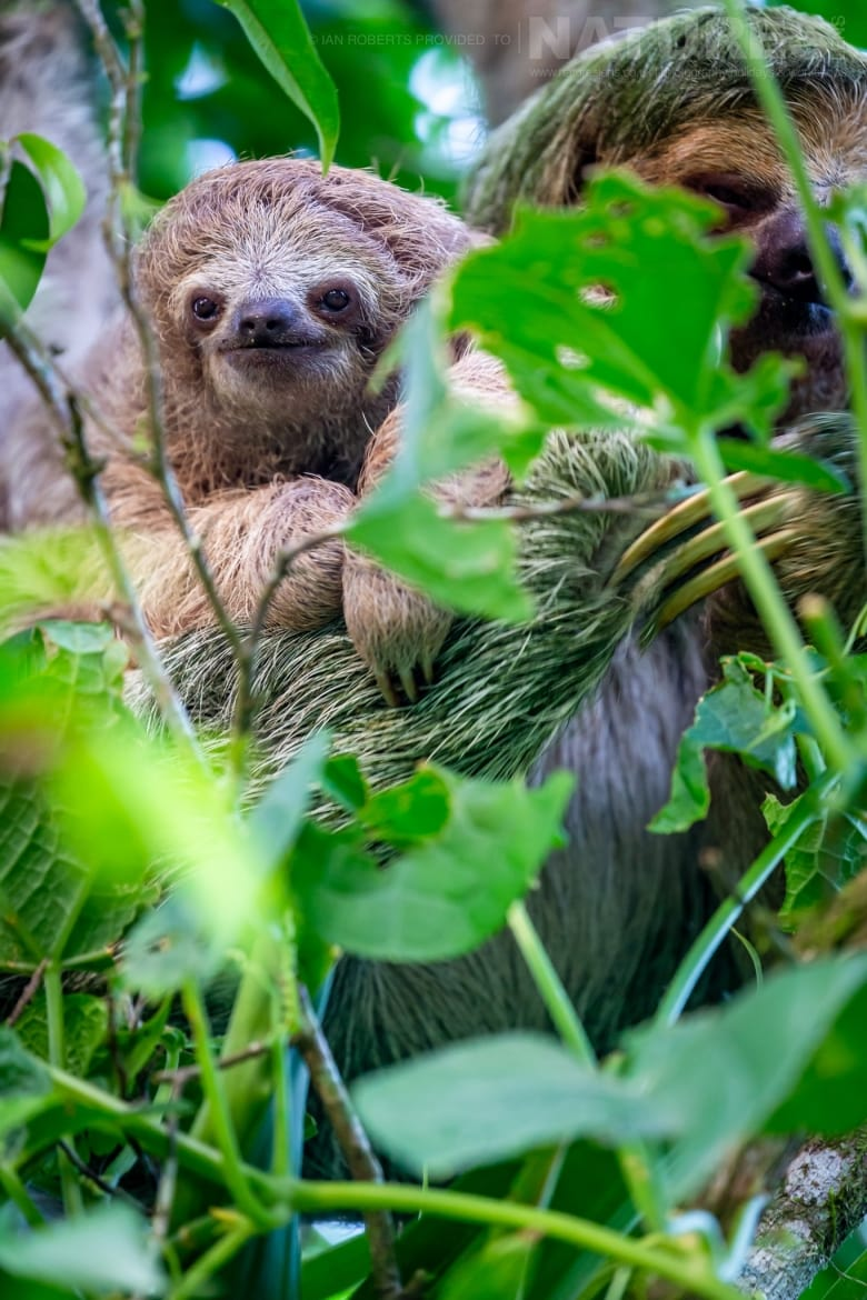 A 3 toed Sloth photographed during the NaturesLens Costa Rican Wildlife Photography Holiday