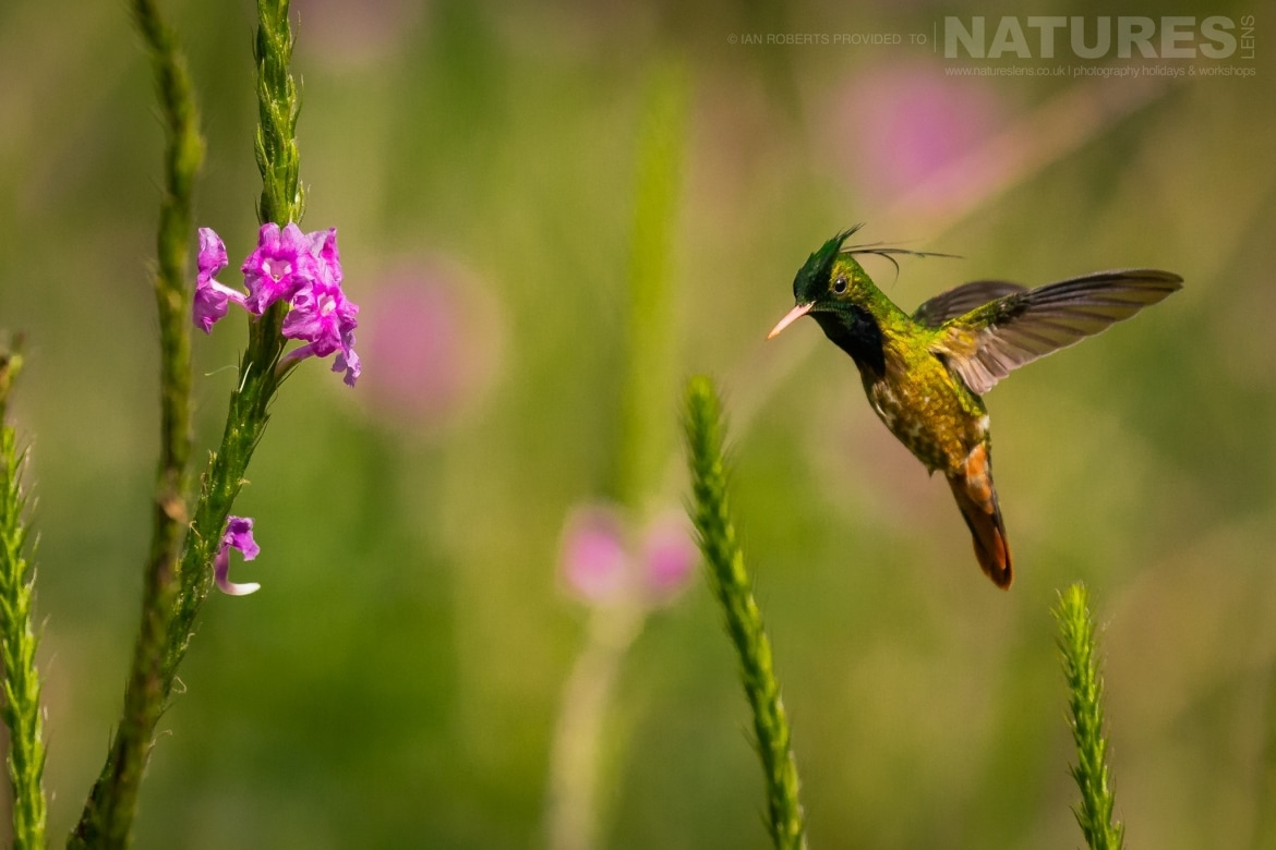 A Black crested Coquette Hummingbird photographed during the NaturesLens Costa Rican Wildlife Photography Holiday