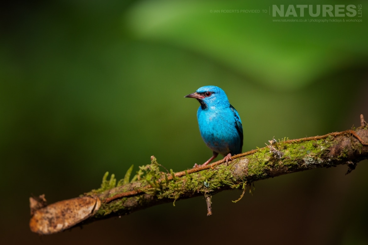 A Blue Dacnis photographed during the NaturesLens Costa Rican Wildlife Photography Holiday