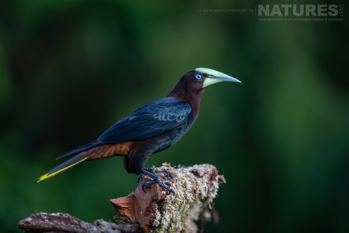 A Chestnut headed Oropendola photographed during the NaturesLens Costa Rican Wildlife Photography Holiday