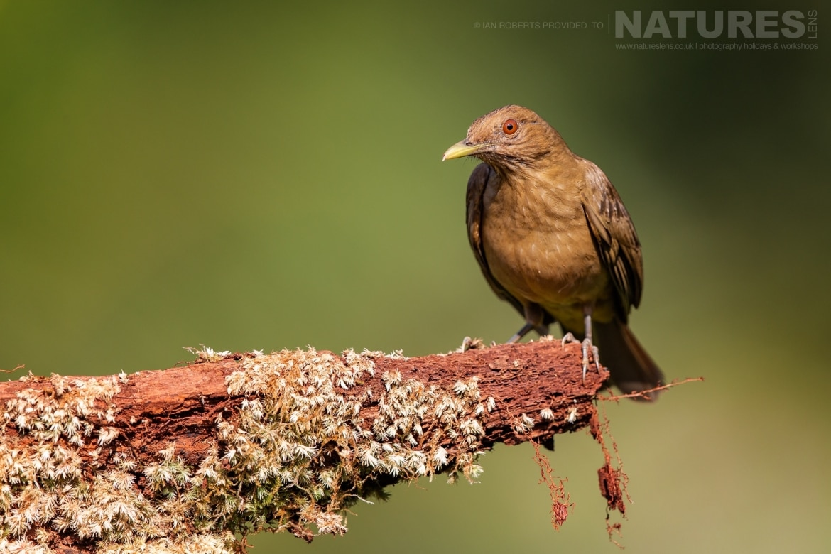 A Clay coloured Thrush photographed during the NaturesLens Costa Rican Wildlife Photography Holiday