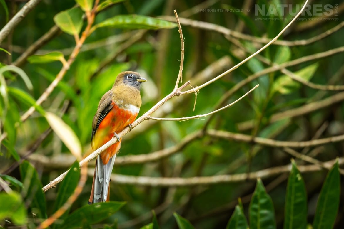 A Collared Trogon photographed during the NaturesLens Costa Rican Wildlife Photography Holiday