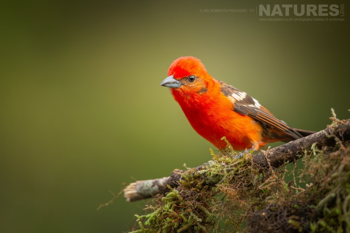 A Flame coloured Tanager photographed during the NaturesLens Costa Rican Wildlife Photography Holiday