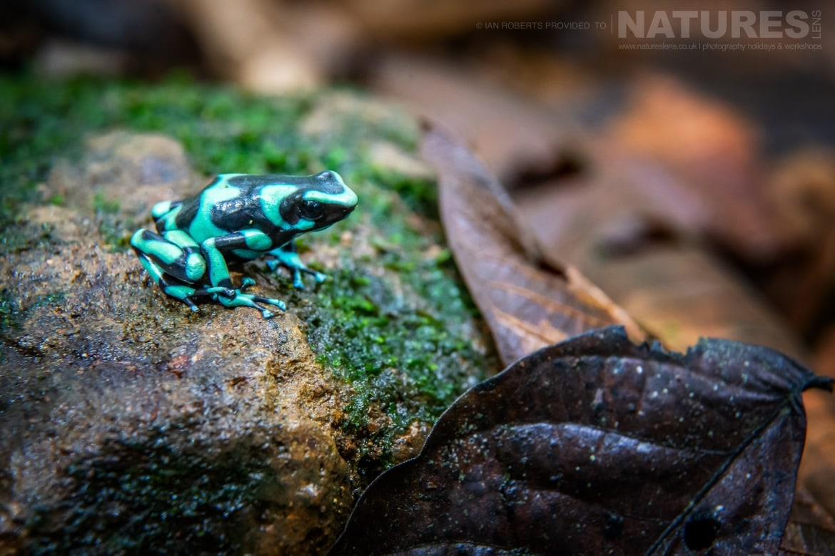 A Green Black Tree Frog photographed during the NaturesLens Costa Rican Wildlife Photography Holiday
