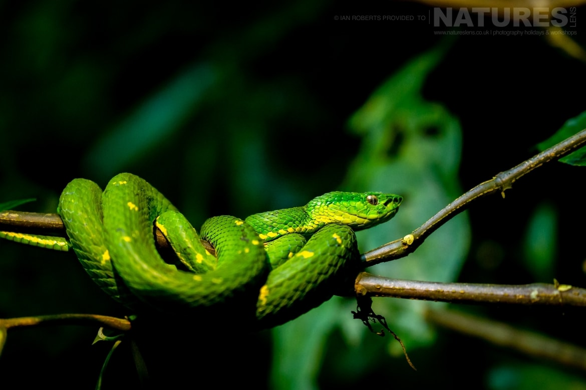 A Green Palm Viper photographed during the NaturesLens Costa Rican Wildlife Photography Holiday