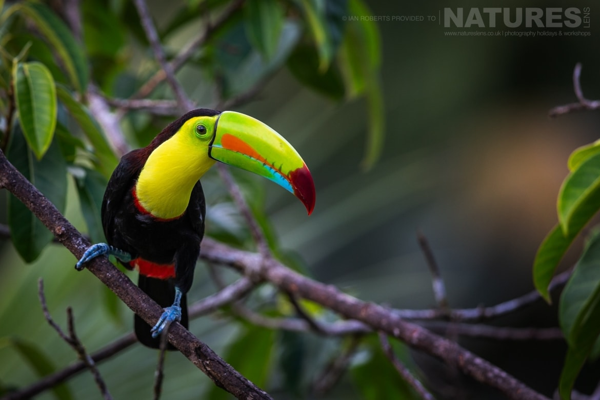 A Keel billed Toucan photographed during the NaturesLens Costa Rican Wildlife Photography Holiday