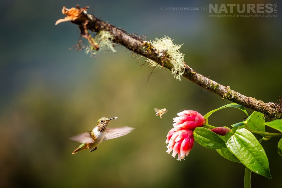 A Magenta Throated Woodstar Hummingbird photographed during the NaturesLens Costa Rican Wildlife Photography Holiday