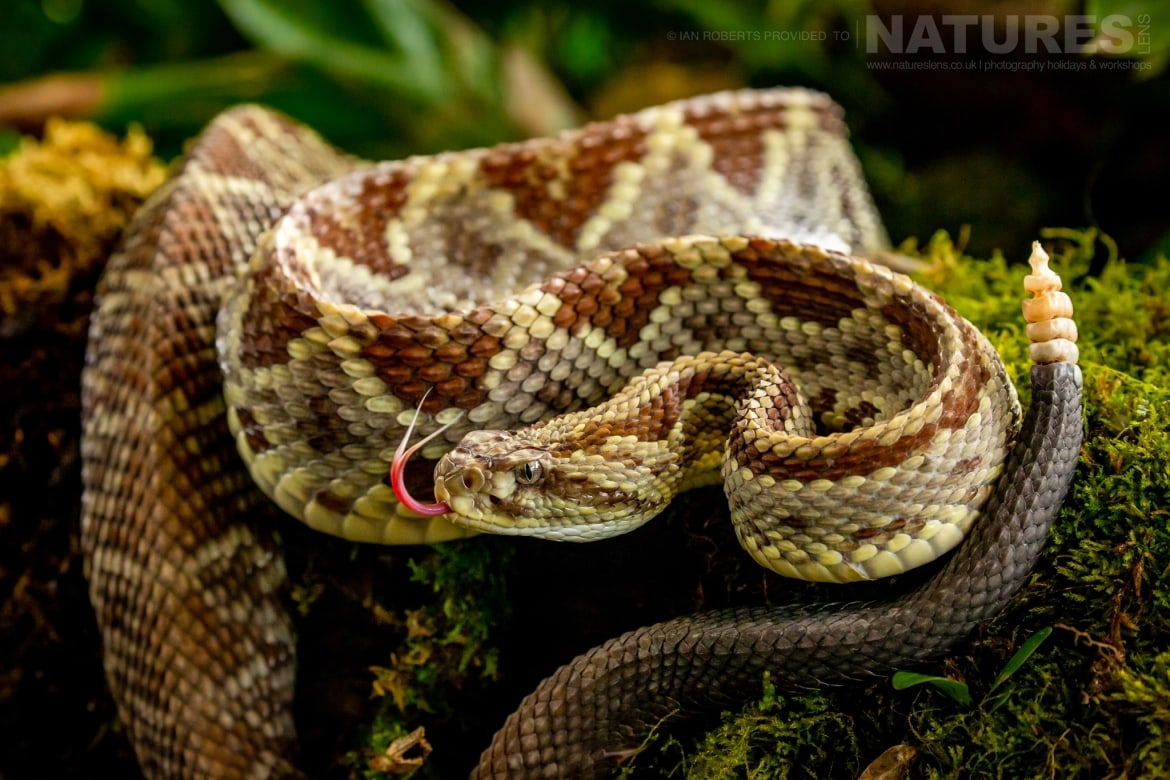A coiled Rattlesnake photographed during the NaturesLens Costa Rican Wildlife Photography Holiday