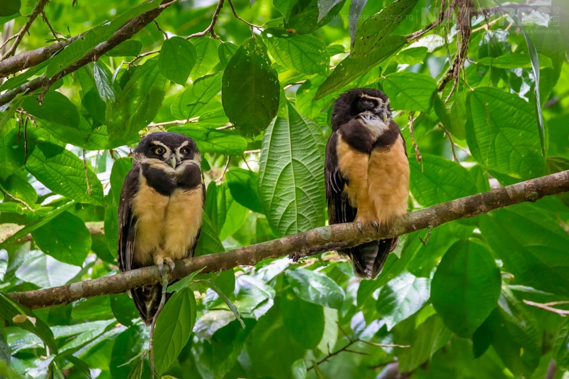 A pair of Spectacled Owls photographed during the NaturesLens Costa Rican Wildlife Photography Holiday