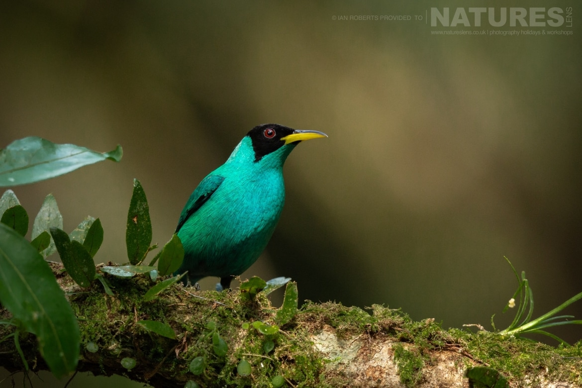 A perched Green Honeycreeper photographed during the NaturesLens Costa Rican Wildlife Photography Holiday