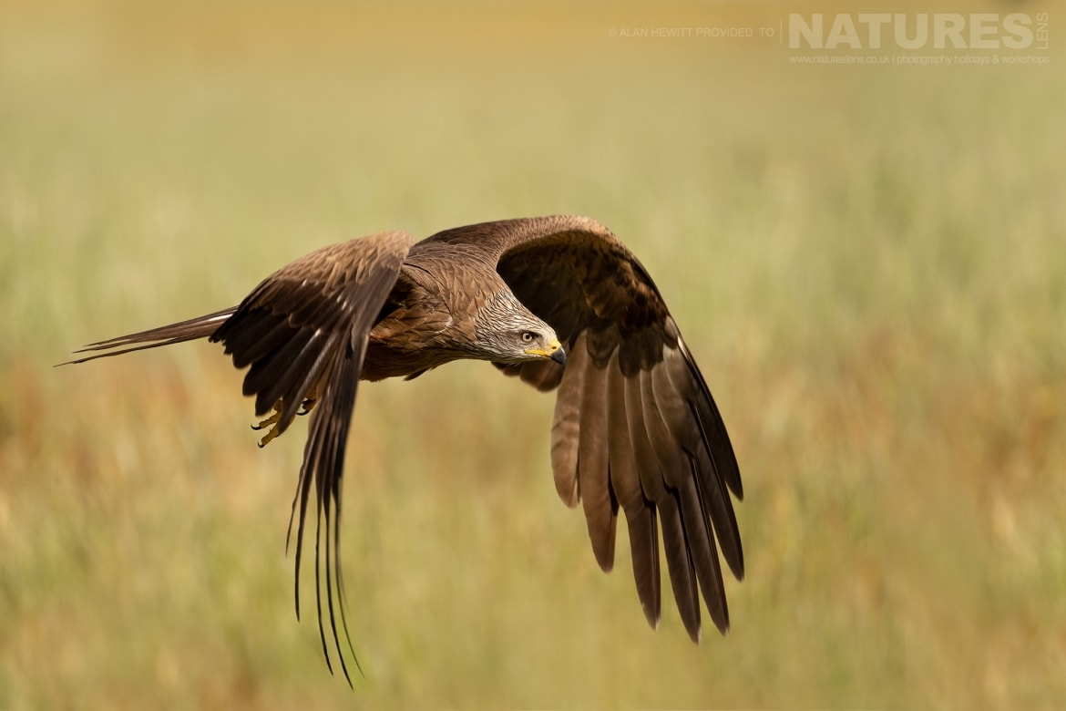 A Black Kite flies across a meadow of wild flowers photographed during one of the NaturesLens photography holidays to Spain