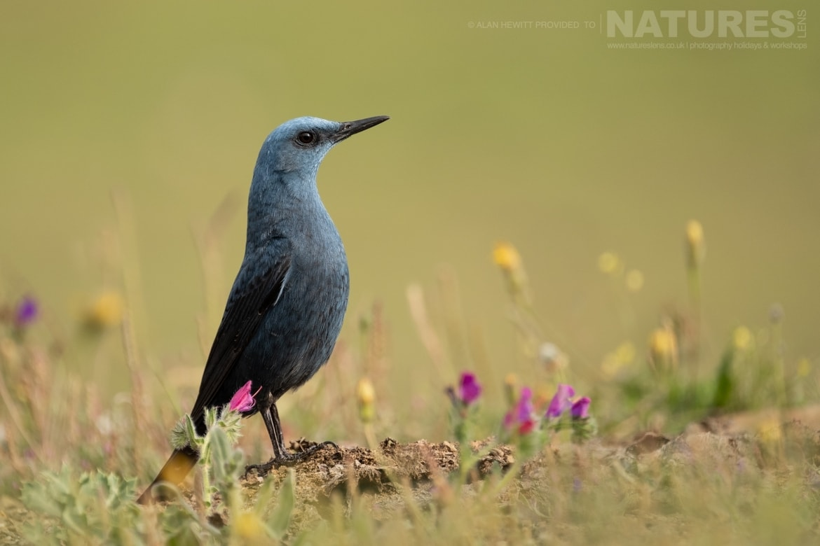 A Blue Rock Thrush poses amongst the wild flowers photographed during one of the NaturesLens photography holidays to Spain