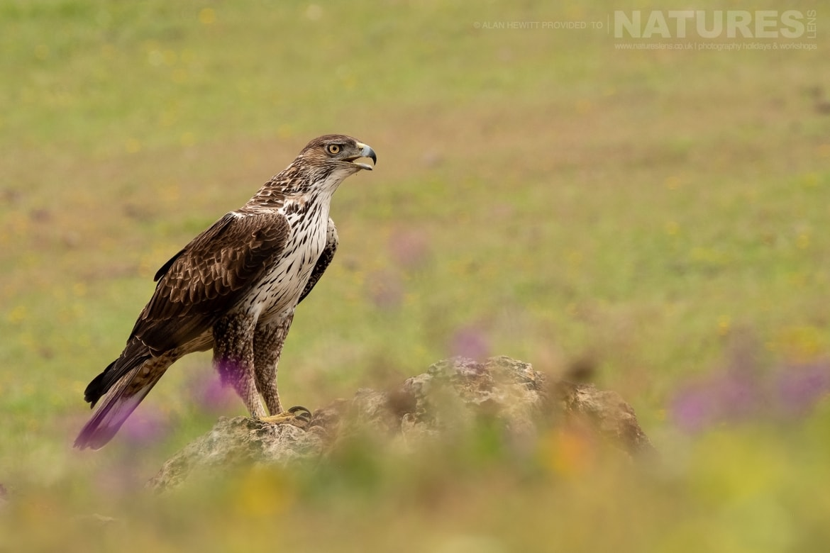 A Bonnellis Eagle poses amongst the wild flowers photographed during one of the NaturesLens photography holidays to Spain