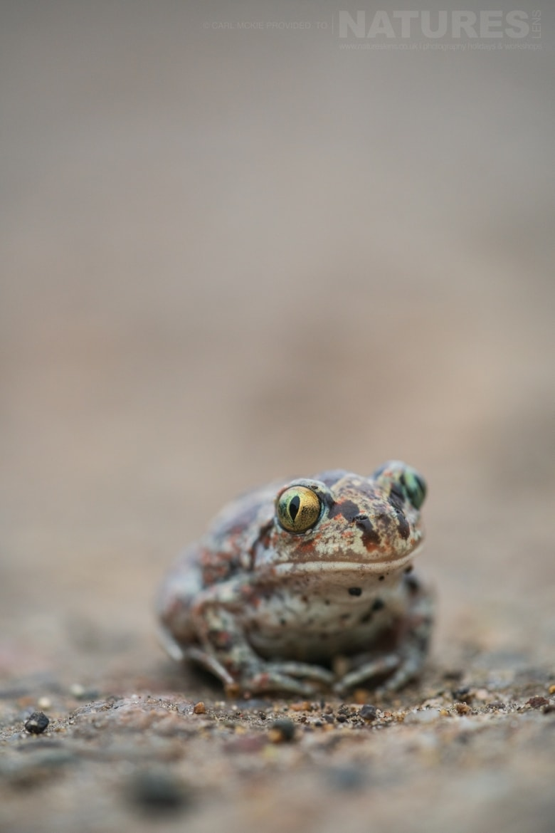 A Common Spadefoot Toad photographed during the NaturesLens Reptiles Amphibians of Bulgaria Photography Holiday