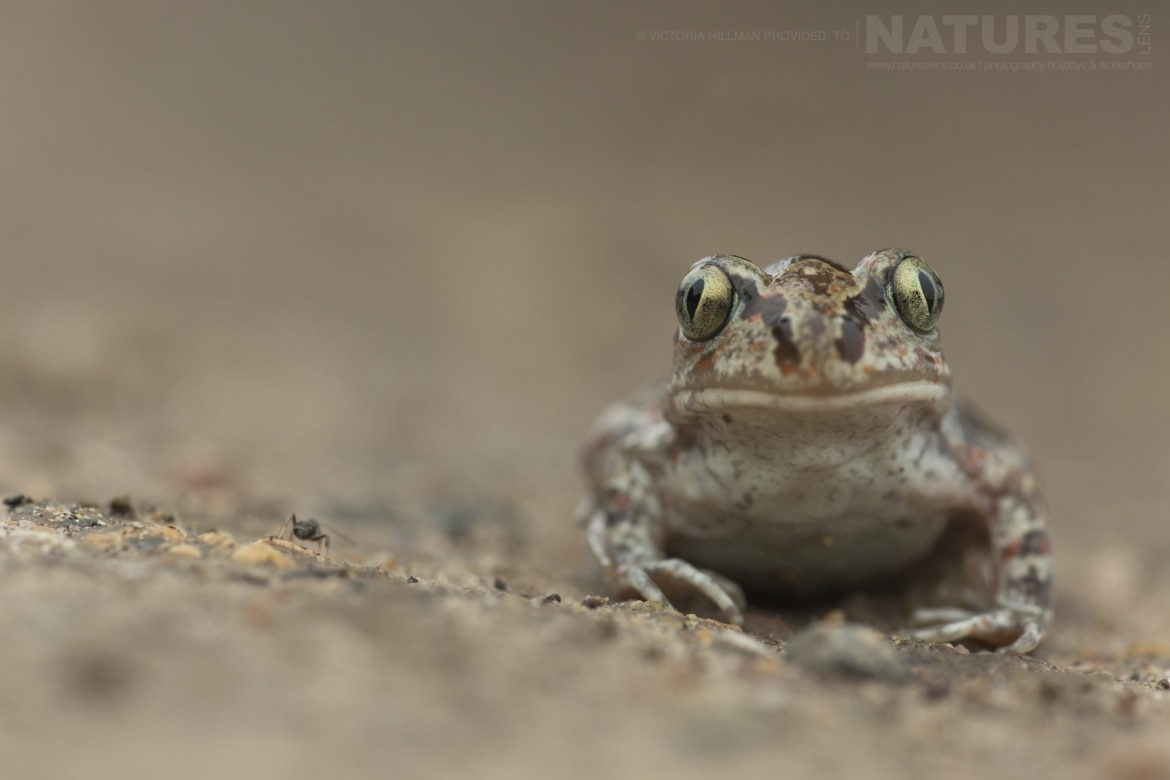 A Common Spadefoot Toad photographed in Bulgaria during the NaturesLens Reptiles Amphibians of Bulgaria photography holiday