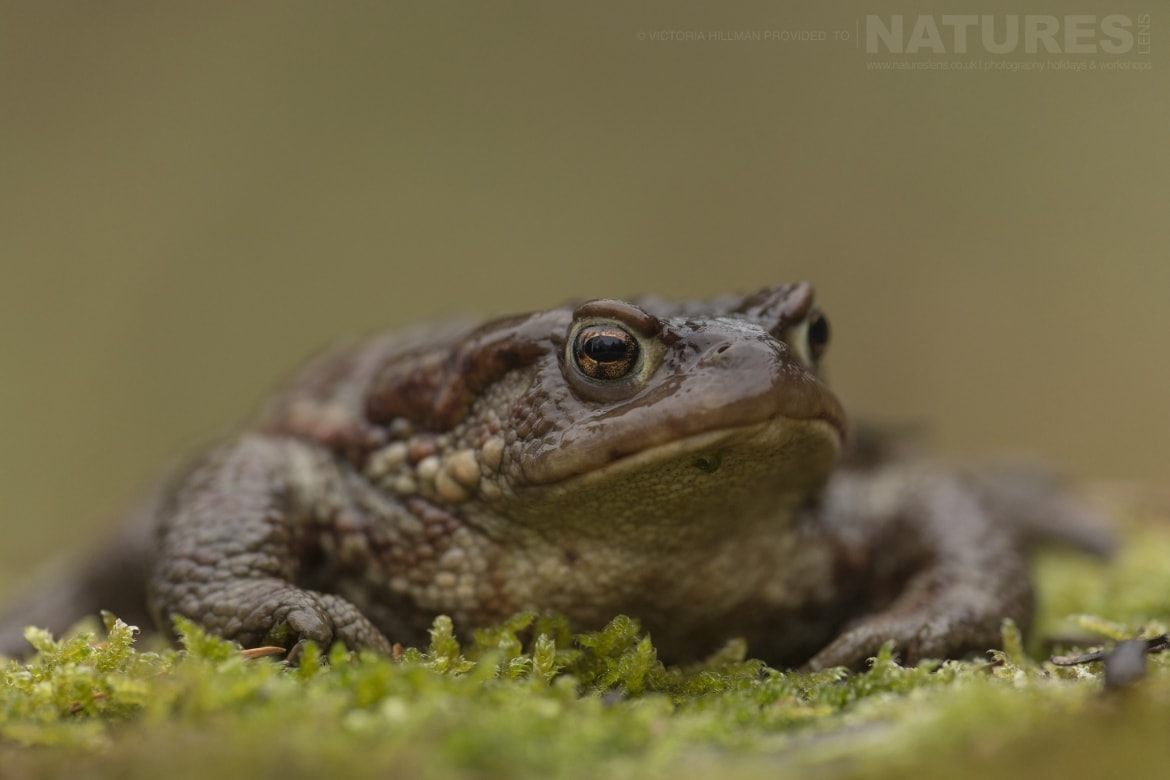 A Common Toad photographed in Bulgaria during the NaturesLens Reptiles Amphibians of Bulgaria photography holiday