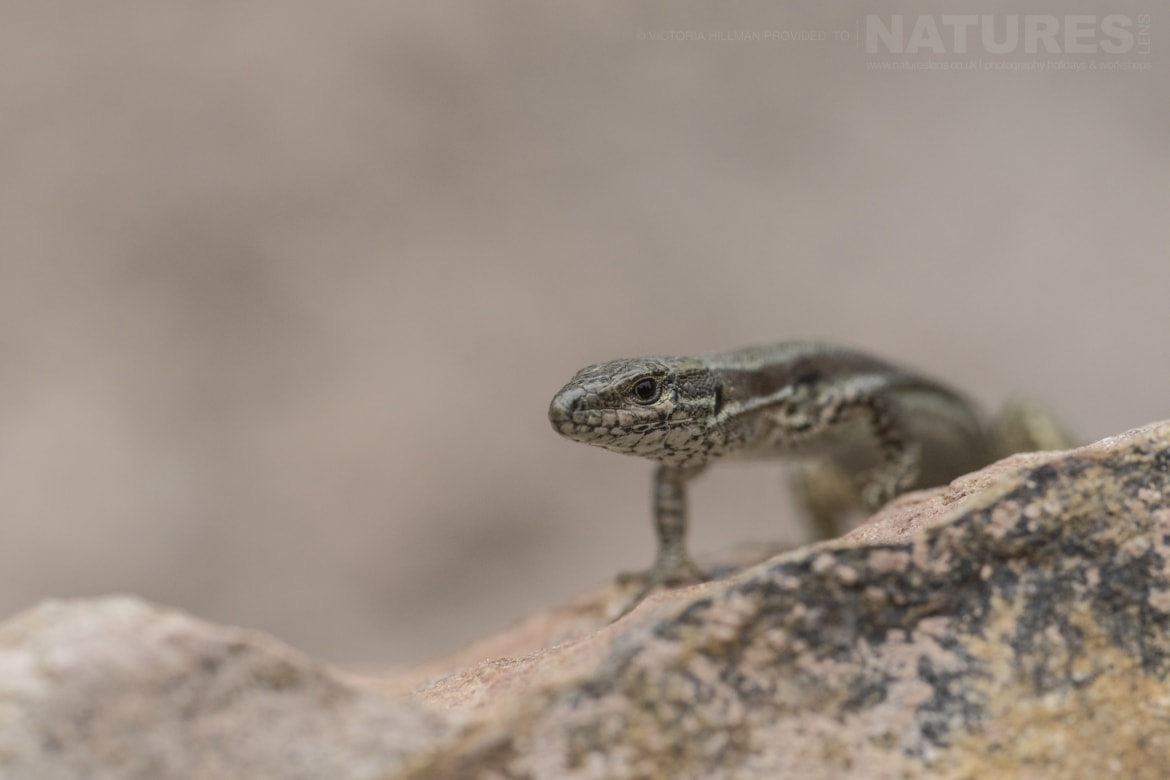 A Common Wall Lizard photographed in Bulgaria during the NaturesLens Reptiles Amphibians of Bulgaria photography holiday