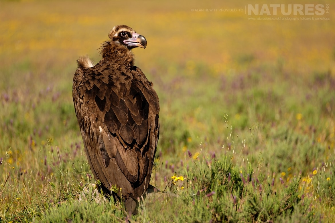 A Eurasian Black Vulture perches on a small rock amongst the wild flowers photographed during one of the NaturesLens photography holidays to Spain