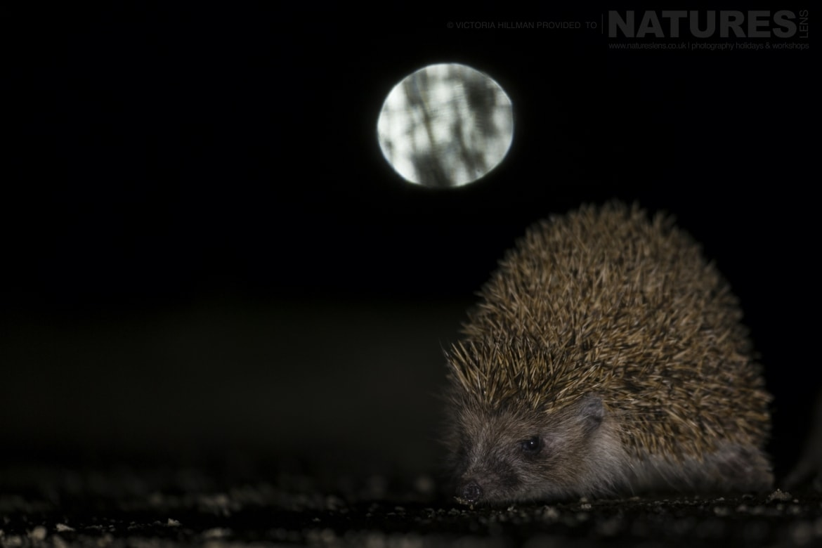 A European Hedgehog photographed after dark in Bulgaria during the NaturesLens Reptiles Amphibians of Bulgaria photography holiday