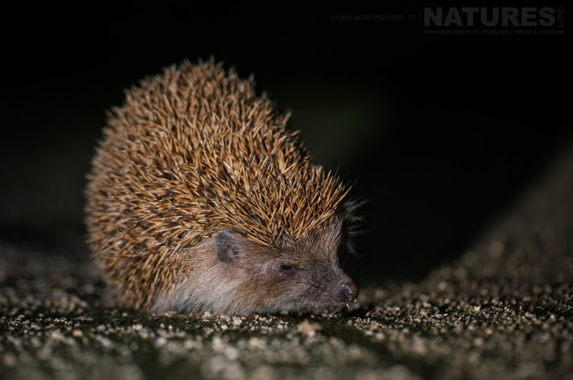 A European Hedgehog photographed after dark photographed during the NaturesLens Reptiles Amphibians of Bulgaria Photography Holiday